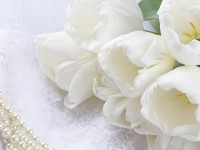 most beautiful hd free wallpapers white rose