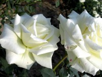 most beautiful hd free wallpapers white roses