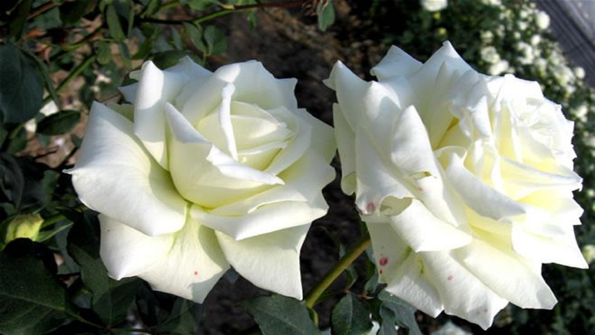 White roses | desktop backgrounds.