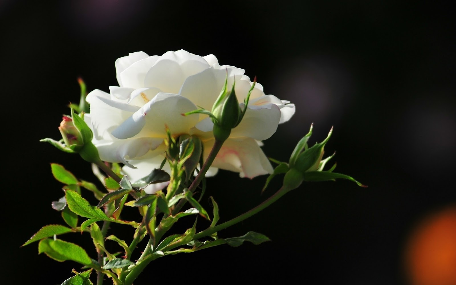 White rose hd free wallpapers download hd wallpaper.
