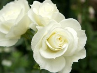 nice best hd free wallpapers white rose