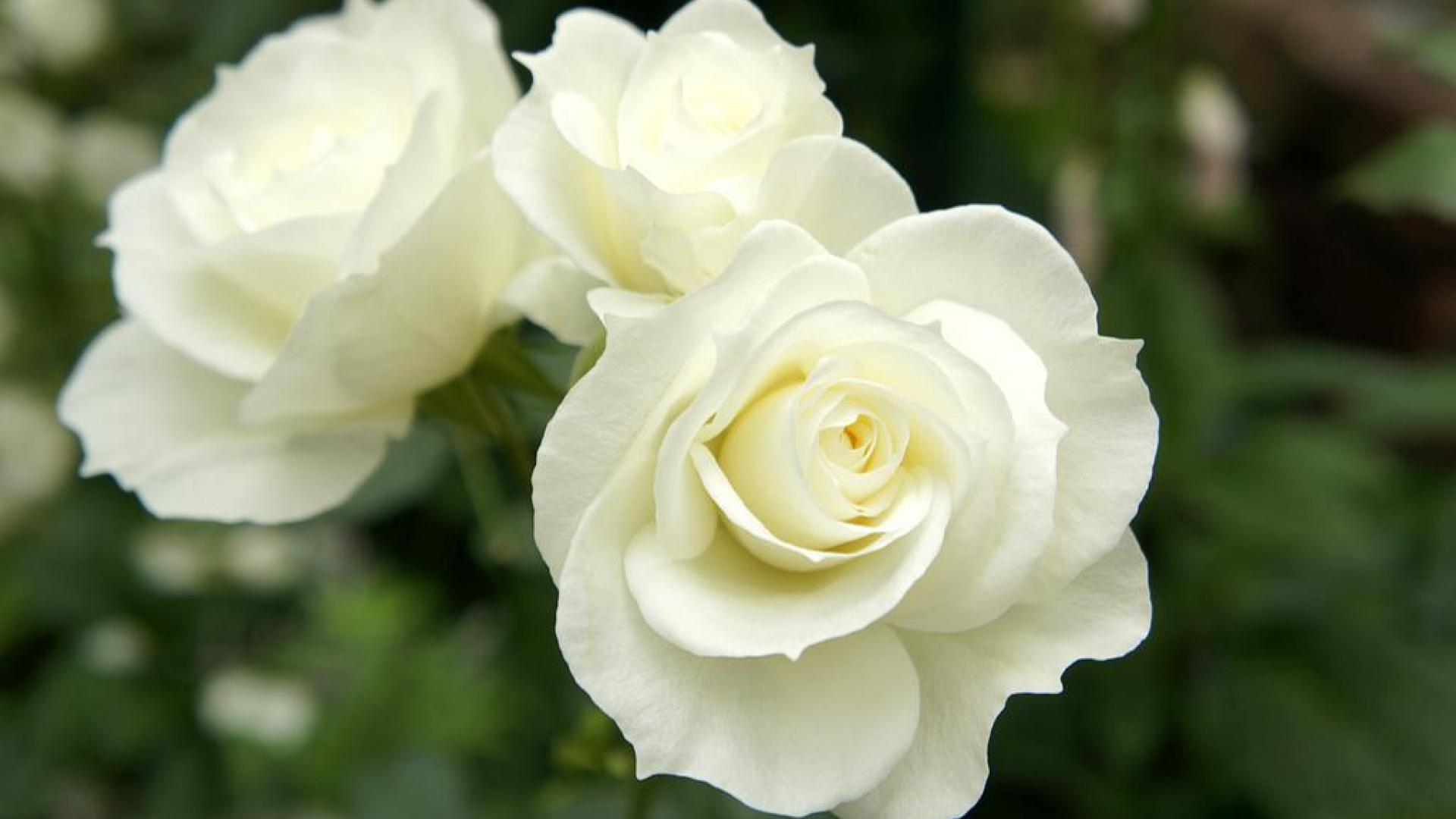 Nice best hd free wallpapers white rose hd wallpaper nice best hd free wallpapers white rose mightylinksfo
