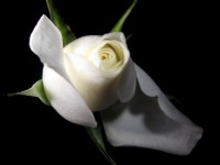 so beautiful free hd wallpapers white flowers