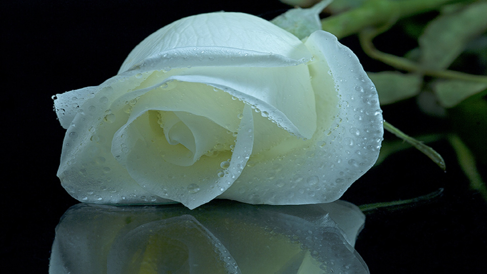 Hd for desktop nice rose mobile wallpapers 3d rose wallpaper free - So Beautiful Shiney White Roses Hd Free Wallpapers