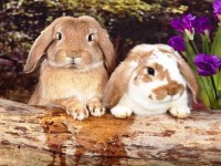 so sweet beautiful hd free wallpapers of rabbits free download