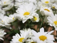 white flowers hd free wallpapers
