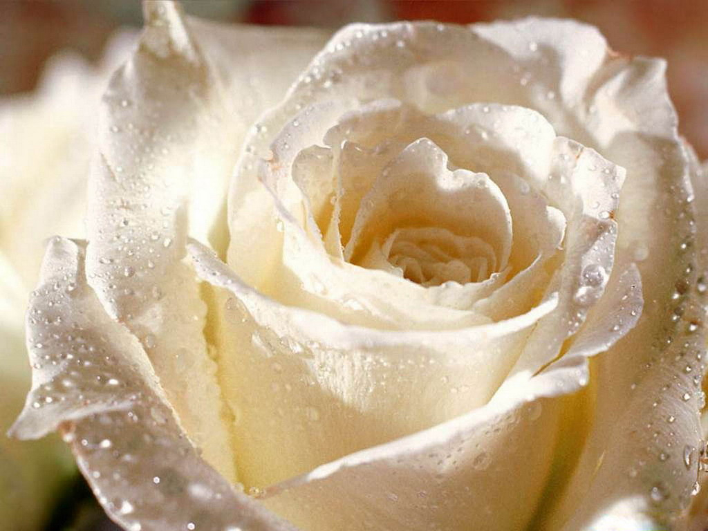 White roses wallpaper free download hd -.
