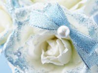 white rose hd free wallpapers download