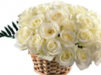 white roses best hd free wallpapers