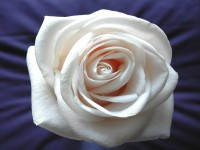 white roses free hd wallpapers
