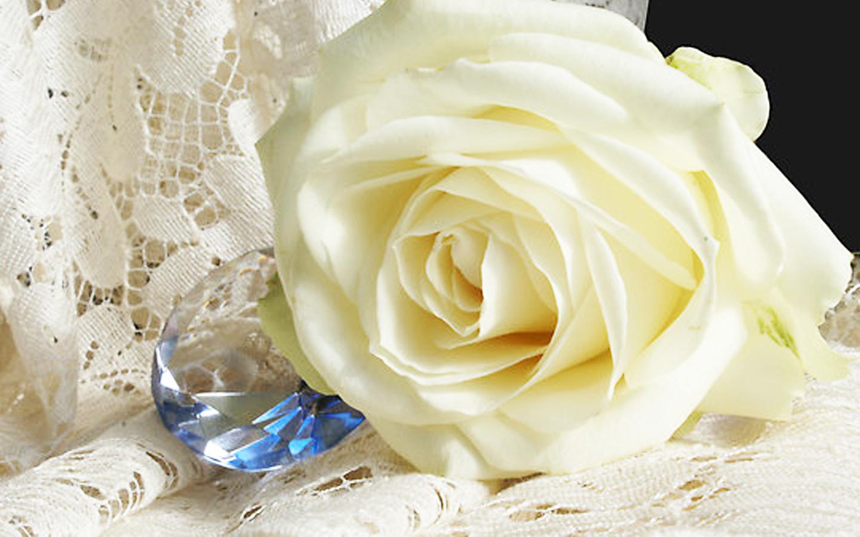 white roses hd free wallpaper for desktop