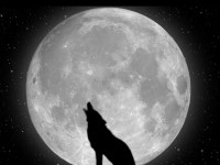 wolf hd free wallpapers free download