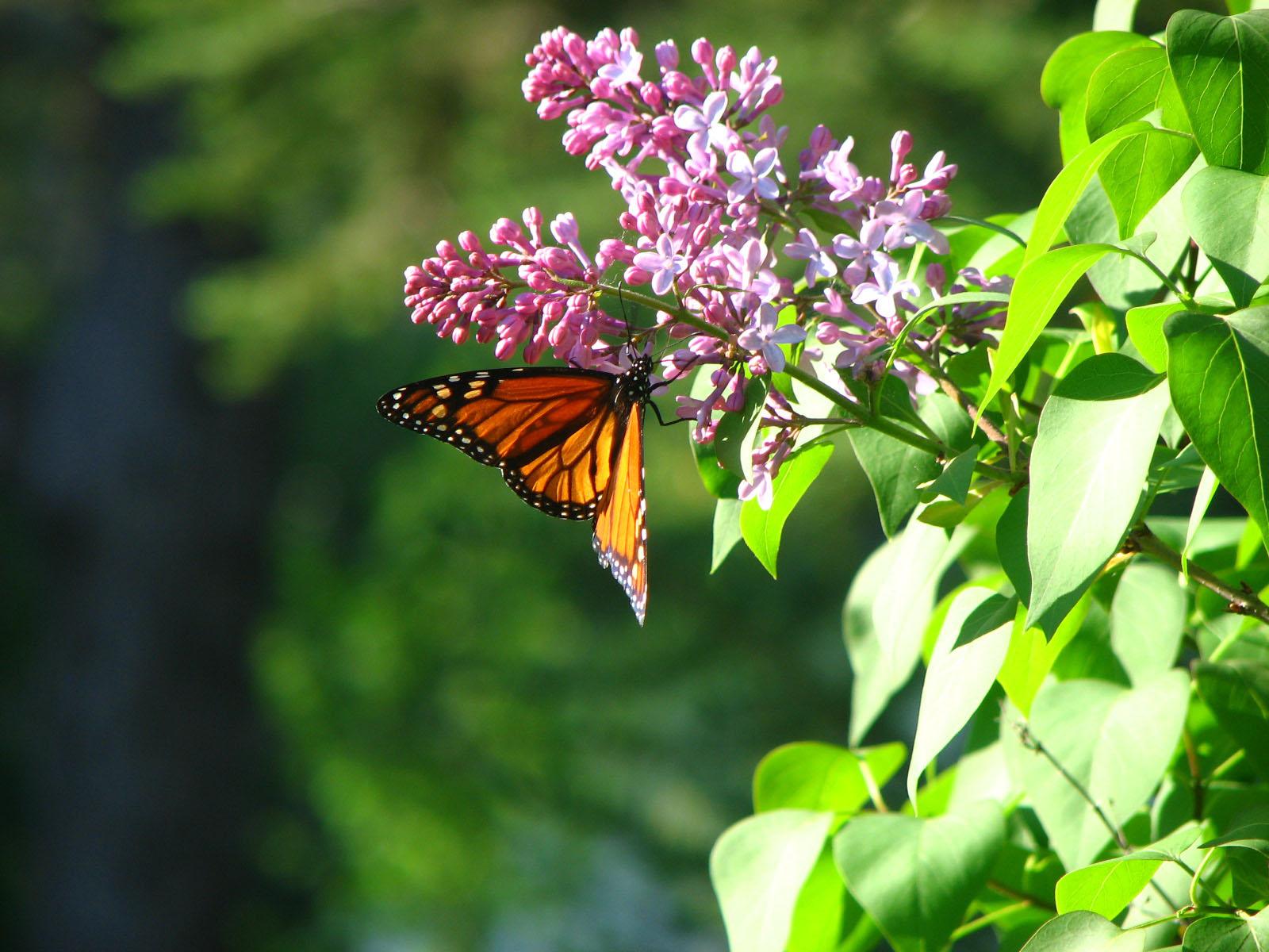 Butterfly Hd Free Wallpapers Spring Season Free Hd Hd Wallpaper