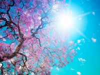 nature cherry hd free wallpapers for desktops