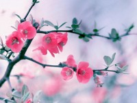 pink spring season hd free wallpapers for desktop