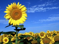 sun flowers hd free wallpapers of spring season