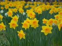 yellow flowers spring season free hd wallpapers