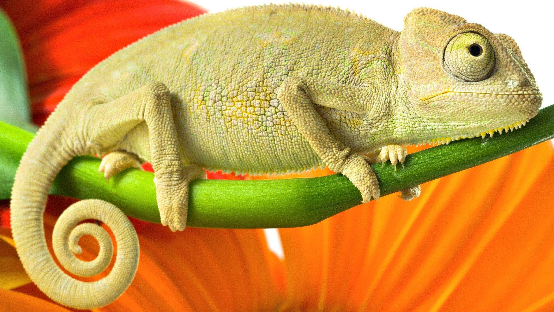 free lizard wallpaper hd download