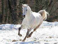 white horses wallpaper desktop