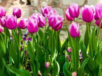 Beautiful Purple Tulips flowers Wallpapers