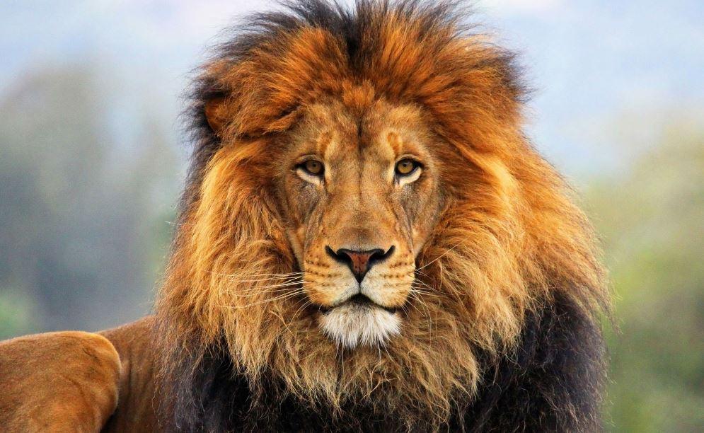 Lion King Wallpapers Hd Wallpaper