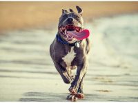 Pitbull Dog Attack Images Wallpaper Free Download