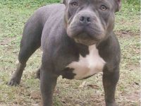 pitbull dog widescreen images