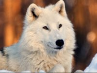Beautiful white wolf wallpaper hd