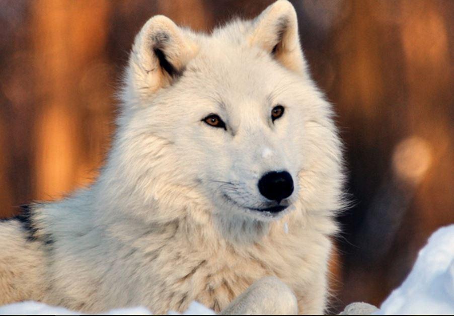 Beautiful White Wolf Wallpaper Hd Hd Wallpaper