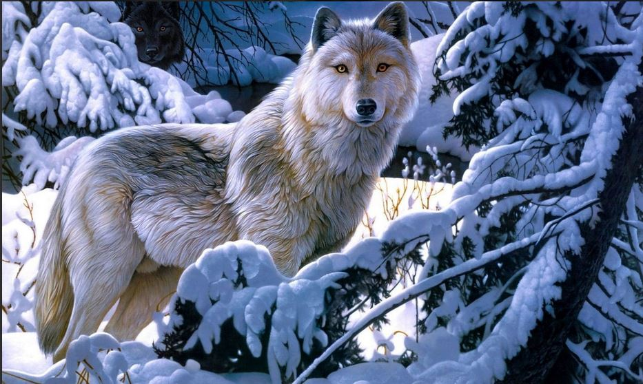Wolf Wallpapers HD Free Download For Desktop PC Collections