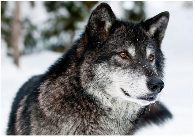 wolf widescreen background wallpapers