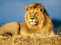 lion hd wallpapers for laptop