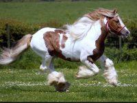 Running Horses HD Wallpaper Free Download