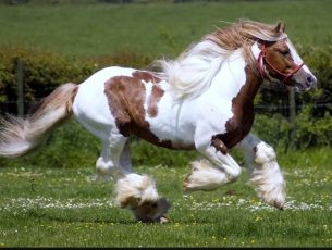 Running Horses HD Wallpaper Free Download