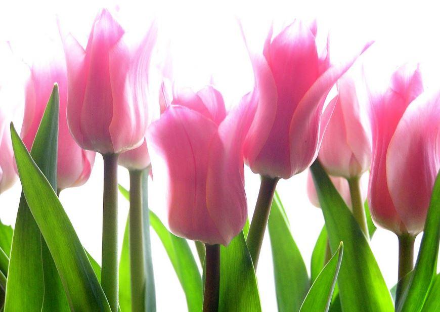 Tulip flower wallpaper for mobile