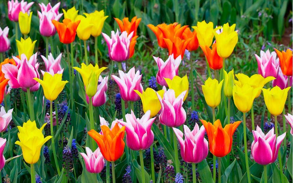 Tulip flower wallpaper free download