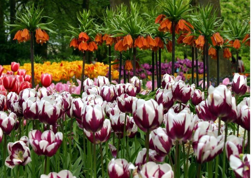 Tulip flowers wallpapers