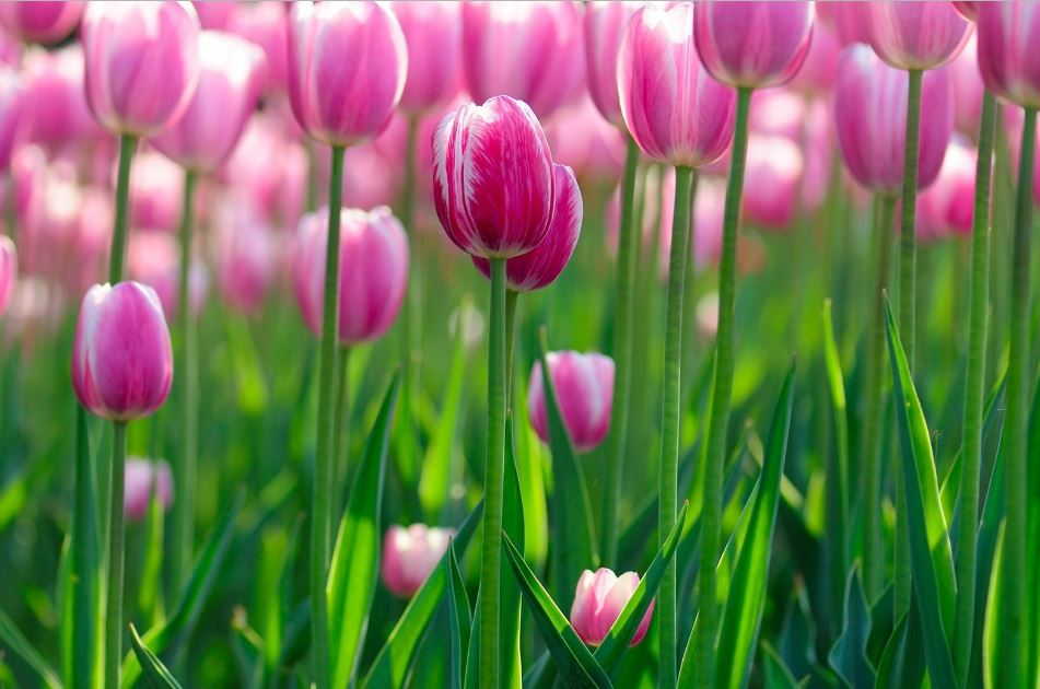 Tulip Wallpaper Free Hd Download