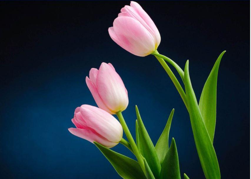 Tulip wallpaper hd