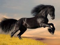 Black Horse Wallpapers Desktop Background