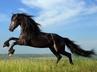 Black horse wallpaper free download