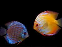 Betta Splendens Blue Exotic Fish