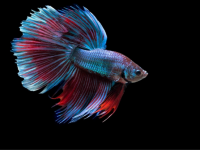Exotic Fish Betta Splendens Blue HD Wallpaper