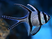 Exotic Fish Betta Splendens Blue HD Wallpaper