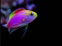 Exotic Fish Betta Splendens Blue Wallpaper