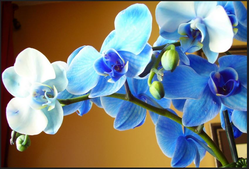 Beautiful Blue Orchid Flower wallpaper
