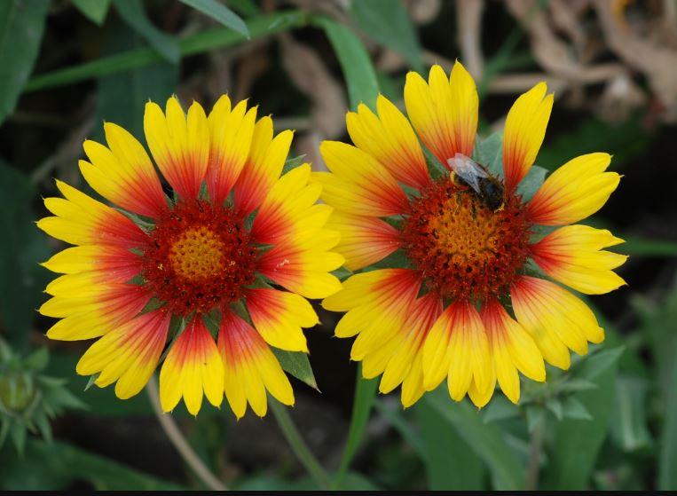 Gaillardia Aristata images