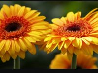 Gerbera Daisy Backgrounds