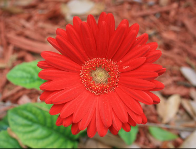 Gerbera flower images