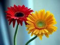 Gerbera flower wallpaper free download